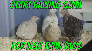 start raising quail for less than 100 youtube