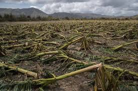 puerto rico u0027s agriculture and farmers decimated by maria the new