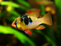tropical fish pictures ornamental fish photos with names