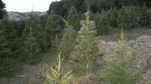 california drought stunts christmas pine trees abc7news com