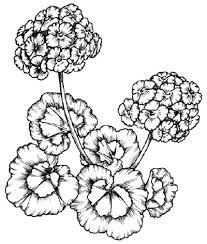 Drawings Of Flowers In A Vase How To Draw A Geranium Howstuffworks