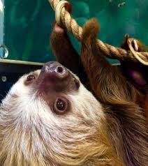 fun zoo fact henry the sloth is a big oklahoma city zoo and