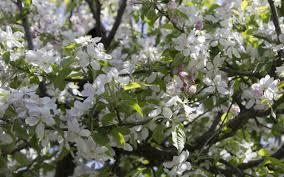apple tree bloom wallpapers apple tree wallpaper wallpapers browse