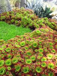 aeonium cabernet google search aaa succulent must haves