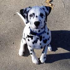 groom dalmatian picture animal love