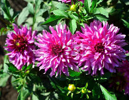 dahlias flowers bouquet of pink dahlias flowers in a garden on a flowerbed stock