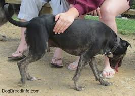 american pitbull terrier size chart pit heeler dog breed information and pictures