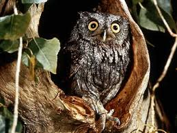 owl in tree birds animals background wallpapers on