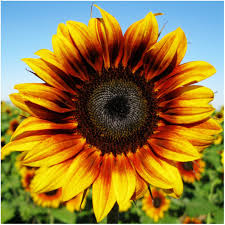 sunflower pictures package of 85 seeds firecracker sunflower