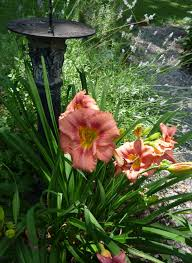 stella d oro daylily dividing daylilies the garden bench