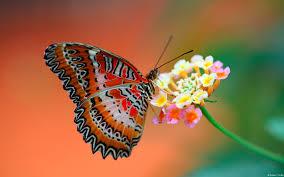 butterfly on flower wallpaper free wallpapers