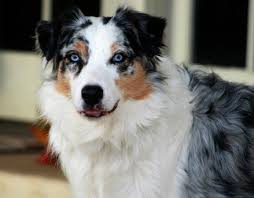 australian shepherd with blue eyes 20 animals with sapphire blue eyes these beauties put elvis to shame
