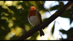 4 hours of glorious birdsong robin singing sounds of nature