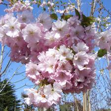 buy prunus pink perfection pink ornamental cherry tree 10 12cm