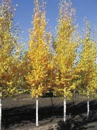 73 best columnar trees for landscapes images on