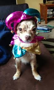 Chihuahua Halloween Costume Halloween Pet Parade Vegas Showgirl Dog Halloween Halloween