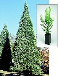 gift tree free shipping memorial gift tree sequoia free priority mail shipping