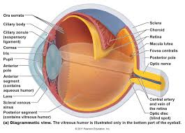 Human Physiology And Anatomy Pdf Anatomy Eyes Chart Tag Anatomy And Physiology Of Human Eye Pdf