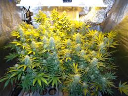 Grow Lights For Indoor Plants Canada by Get The Right Mh Hps Grow Light Grow Weed Easy