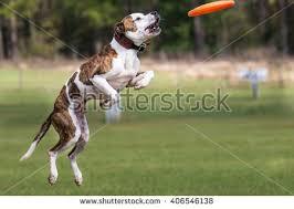 australian shepherd frisbee jump frisbee stock photos royalty free images u0026 vectors