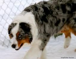australian shepherd family dog akc australian shepherd puppies u0026 dogs available kingfishers aussies