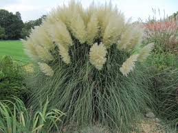 miscanthus maiden grass tips for growing maiden grass varieties