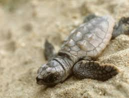 the laws that saved florida u0027s sea turtles pacific standard