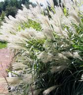 fall for ornamental grasses news