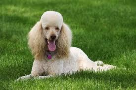 shih poo haircuts grooming ideas for a shih poo cuteness