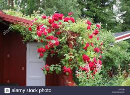 roses trellis stock photos u0026 roses trellis stock images alamy