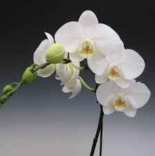 white orchids orchid plants white phalaenopsis orchidaceous orchid