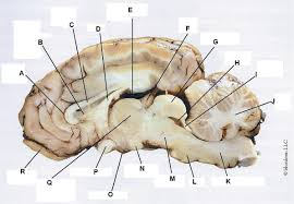 Sheep Heart Anatomy Quiz The Brain Deep Sheep Brain Anatomy Quiz At Best Anatomy Learn