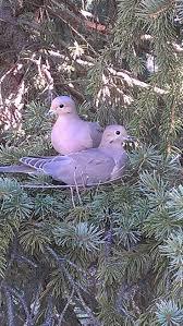 370 best pigeons u0026 doves images on pinterest beautiful birds