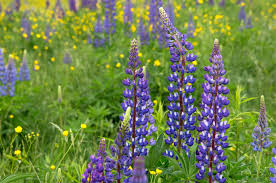 wild flowers in wild meadows free picture purple wild flowers wild lupine flowers tall grass