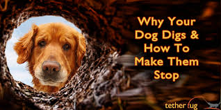 Is It Legal To Bury Your Dog In The Backyard - why your dog digs in your yard u2013 pain free ways to make them stop