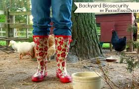 Chickens For Backyard Backyard Biosecurity Keep Your Chickens Healthy And Safe Fresh