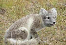 arctic fox tails 4 39 waters west fly fishing outfitters 14 of your dog s wild relatives mental floss