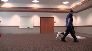 Do Brittany Spaniels Shed by Hunter Brittany Spaniel Boot Camp Dog Training Video Youtube