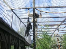 pileated gibbons at colchester zoo 17 september 2010 zoochat