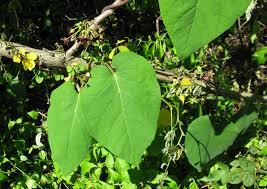 native plants to maryland anglepod the natural history log