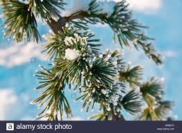 frosted pine tree cedrus stock photo royalty free image