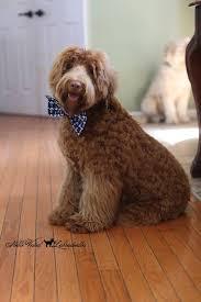 labradoodle hairstyles australian labradoodle grooming home facebook