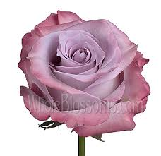 lavender roses buy purple lavender roses