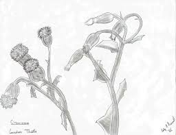 canada thistle pencil drawing