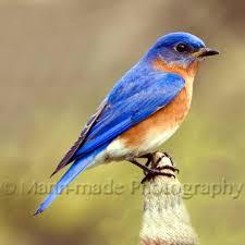 Oklahoma birds images Eastern bluebird in oklahoma garden birds butterflies bees bugs jpg