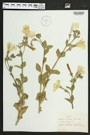plants native to alabama petunia atkinsiana species page apa alabama plant atlas