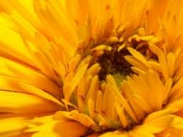 yellow flower wallpaper flowers nature wallpapers for free