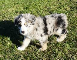 mini australian shepherd 7 weeks puppies mountain wrangler aussies australian shepherd puppies