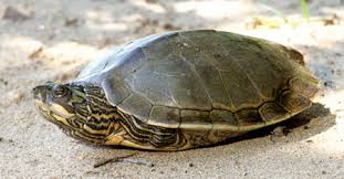 map turtle alabama map turtle outdoor alabama
