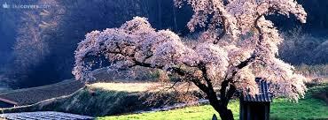 purple tree blooming covers